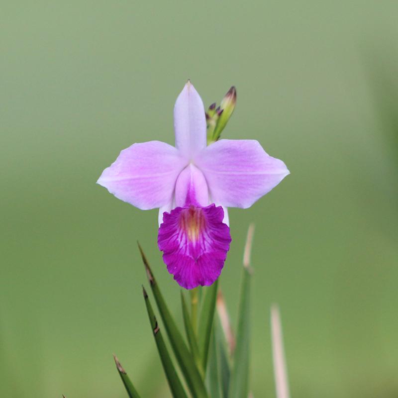 A tropical Iris.