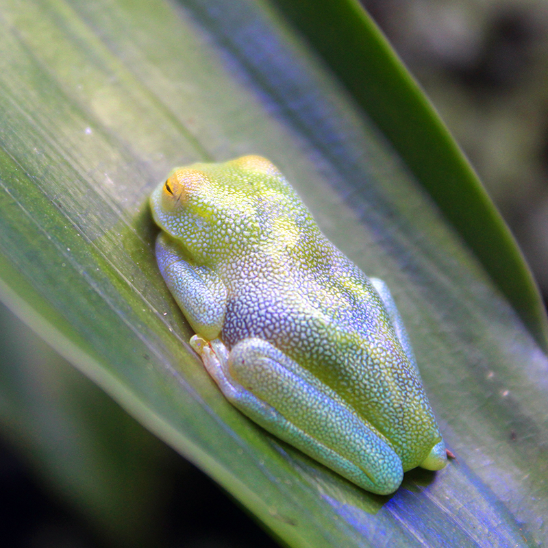 Tree frog at the Atlanta Botanical Gardens.