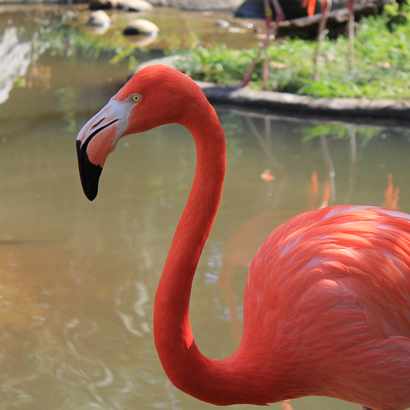 Flamingo at Riverbanks Zoo in Columbia, South Carolina.