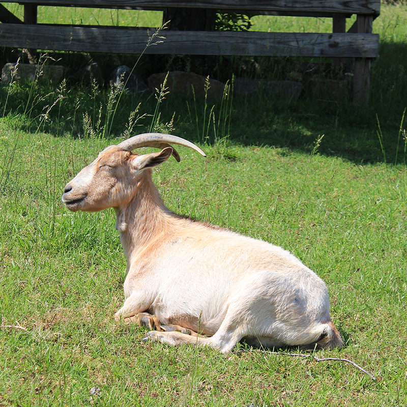 A happy goat at Maymont in Richmond, Virginia.