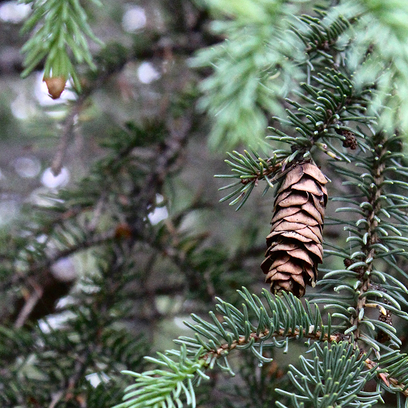 A baby pinecone in Alaska.